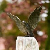 Bronzefigur Adler Roter Milan Flügel offen 45cm Bronze Gartenfigur Rottenecker